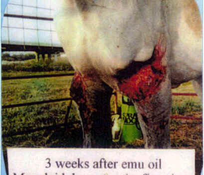 3 weeks after emu oil Mare laid down for the first time. The next day she walked.