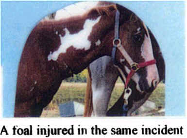 A foal injured in the same incident